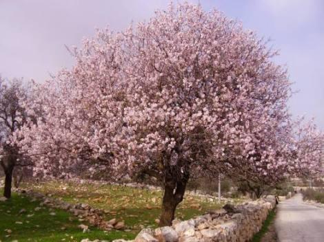 Almond Tree: golona.blogspot.com