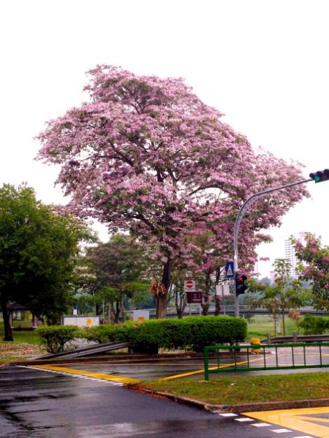 Trumpet Tree along Bishan Road